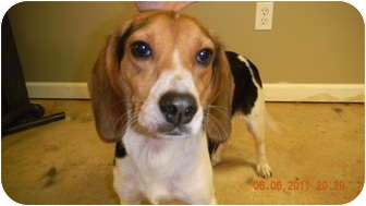 Beagle Dog for adoption in East Hartland, Connecticut - Lily