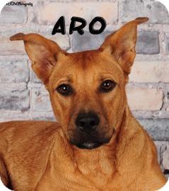 Shepherd (Unknown Type) Mix Dog for adoption in Columbus, Georgia - Aro 4A29