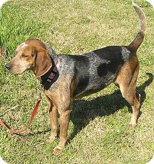 Bluetick Coonhound/Treeing Walker Coonhound Mix Dog for adoption in Edisto Island, South Carolina - Rustie