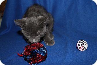 Russian Blue Kitten for adoption in Battle Creek, Michigan - Yakov