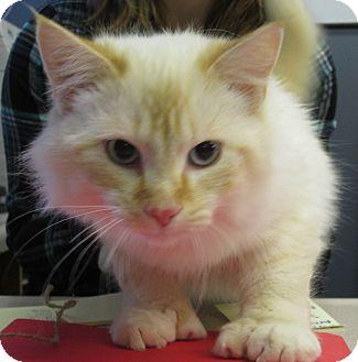 Siamese Cat for adoption in Lloydminster, Alberta - Couscous