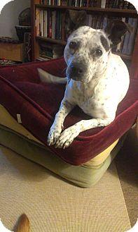 Dalmatian Mix Dog for adoption in Littleton, Colorado - WIGGLES