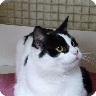 Domestic Shorthair Cat for adoption in Trevose, Pennsylvania - Rudolph