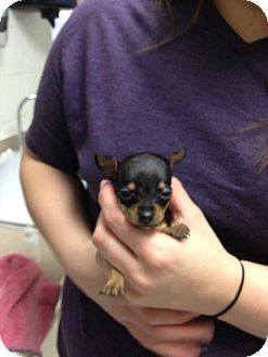 Chihuahua Mix Puppy for adoption in White Settlement, Texas - Melanie's Chi 3 Bella Adopted