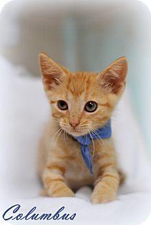 Domestic Shorthair Kitten for adoption in Everman, Texas - Columbus