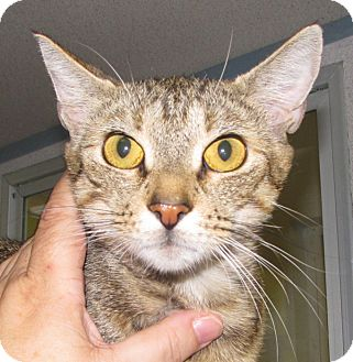 Domestic Shorthair Cat for adoption in Walden, New York - Minerva
