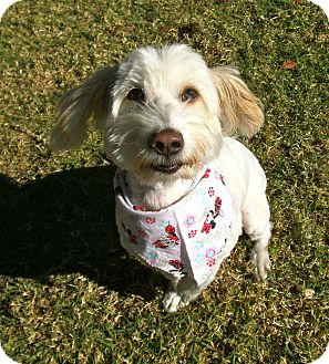 Lhasa Apso/Terrier (Unknown Type, Small) Mix Dog for adoption in El Cajon, California - Opal