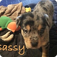 Adopt A Pet :: Sassy - Salem, MA