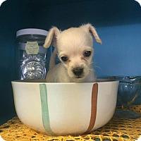 Adopt A Pet :: Romeo - Kempner, TX
