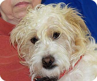 Terrier (Unknown Type, Small)/Poodle (Miniature) Mix Dog for adoption in Spokane, Washington - James