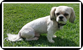 Shih Tzu Dog for adoption in Winchester, California - HERBIE