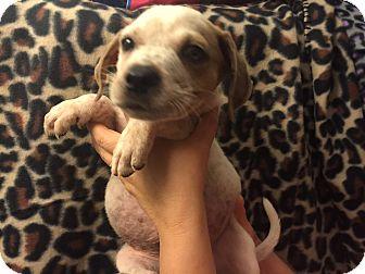 Hound (Unknown Type) Mix Puppy for adoption in Atlanta, Georgia - Winston