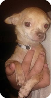 Chihuahua Dog for adoption in Houston, Texas - FRANCIS