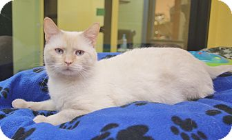 Siamese Cat for adoption in Benbrook, Texas - Elephant