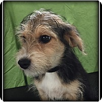 Adopt A Pet :: Molly - Indian Trail, NC