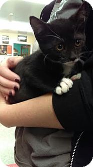 Domestic Shorthair Cat for adoption in Reisterstown, Maryland - Snow White