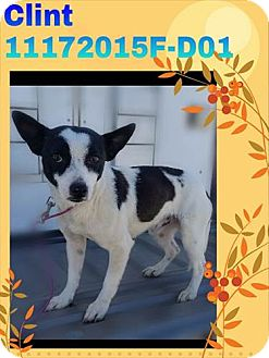 Chihuahua/Terrier (Unknown Type, Small) Mix Dog for adoption in DELANO, California - CLINT