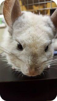 Chinchilla for adoption in Lindenhurst, New York - Cloud