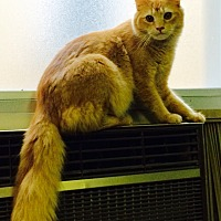 Adopt A Pet :: Midas - Chattanooga, TN