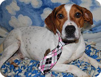Beagle Mix Dog for adoption in Waupaca, Wisconsin - Einstein
