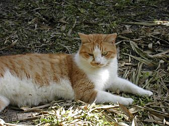 Domestic Shorthair Cat for adoption in Naples, Florida - Roger