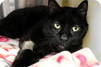 Domestic Mediumhair Cat for adoption in Bellevue, Washington - Modo