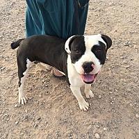 Boxer/Pit Bull Terrier Mix Dog for adoption in Phoenix, Arizona - Beau