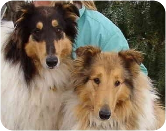Collie Dog for adoption in Gardena, California - Bailey & Sampson