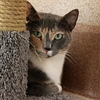 Domestic Shorthair/Domestic Shorthair Mix Cat for adoption in Palm Springs, California - Zoe