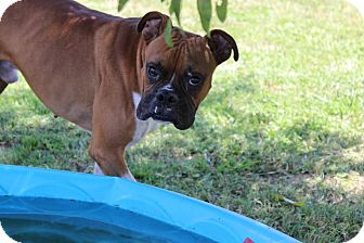 Boxer Mix Dog for adoption in Brattleboro, Vermont - Max