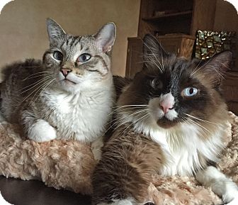 Snowshoe Cat for adoption in Palatine, Illinois - Cinnamon & Bandit