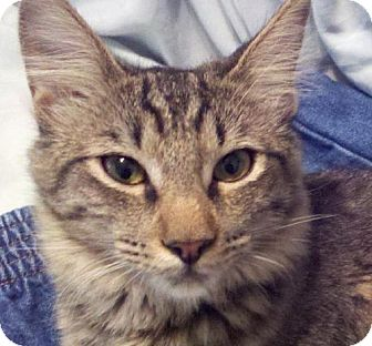 Maine Coon Cat for adoption in Vacaville, California - Whitney