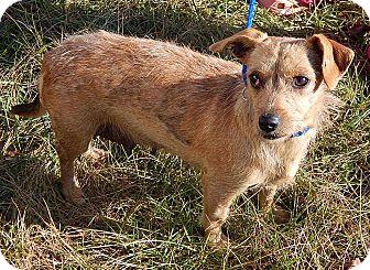 Dachshund/Border Terrier Mix Dog for adoption in Burlington, Vermont - Kay (12 lb) Sweetest Girl Ever