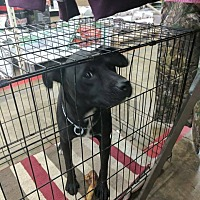 American Pit Bull Terrier/American Staffordshire Terrier Mix Dog for adoption in Covington, Tennessee - Annie Oakley