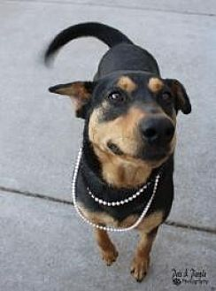 Doberman Pinscher Mix Dog for adoption in Yukon, Oklahoma - Raven