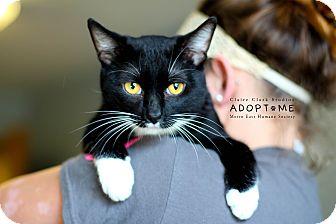 Domestic Shorthair Cat for adoption in Edwardsville, Illinois - Jamie