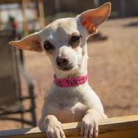 Chihuahua Mix Dog for adoption in Colorado Springs, Colorado - Portia