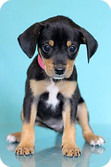 Beagle Mix Puppy for adoption in Waldorf, Maryland - Mollie
