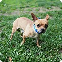Adopt A Pet :: Tamale - Whitehall, PA