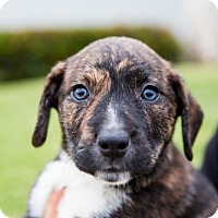 Adopt A Pet :: Donut Puppies - Females - San Diego, CA
