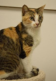 Calico Cat for adoption in DFW Metroplex, Texas - Alley
