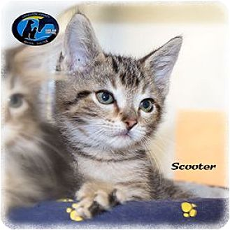 Domestic Shorthair Kitten for adoption in Howell, Michigan - Scooter