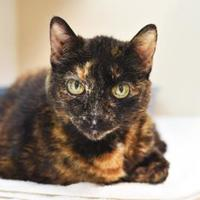 Adopt A Pet :: Mrs. Sunshine - Bellevue, WA