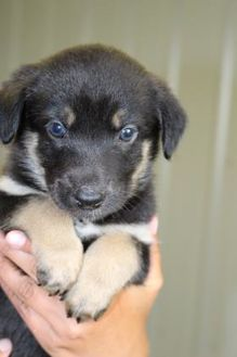 Labrador Retriever Mix Dog for adoption in Athabasca, Alberta - Cache