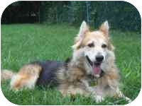 Sheltie, Shetland Sheepdog/German Shepherd Dog Mix Dog for adoption in Warren, New Jersey - Lily