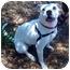 Photo 3 - American Bulldog Dog for adoption in Vista, California - Layla