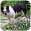 Photo 4 - Boston Terrier Dog for adoption in Temecula, California - Bullet