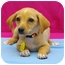 Photo 3 - Chihuahua/Dachshund Mix Puppy for adoption in Westminster, Colorado - BUTTERCUP