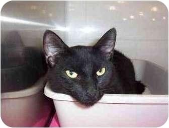 Domestic Shorthair Cat for adoption in San Diego/North County, California - Jasmine
