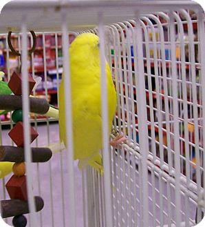 Budgie for adoption in Lenexa, Kansas - Blinky